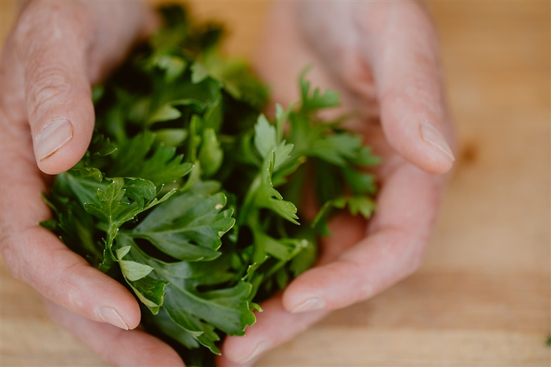 Cilantro cradled in two hands.