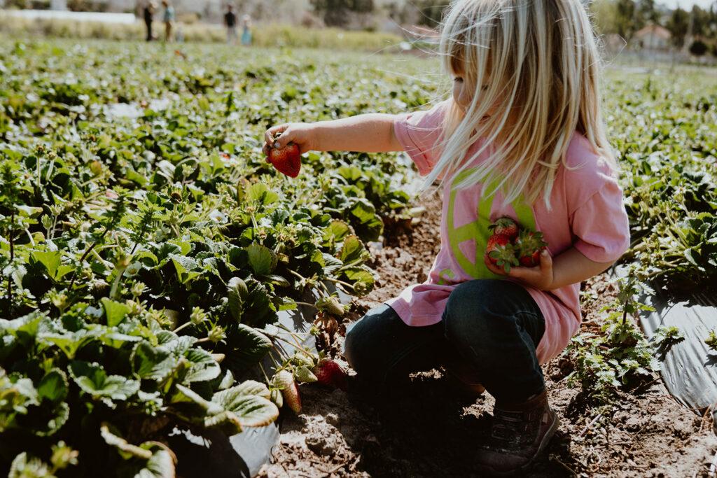 Girl picking strawberry from strawberry fields.