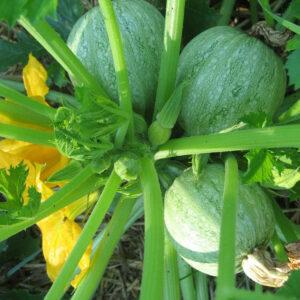 Globe squash plant.