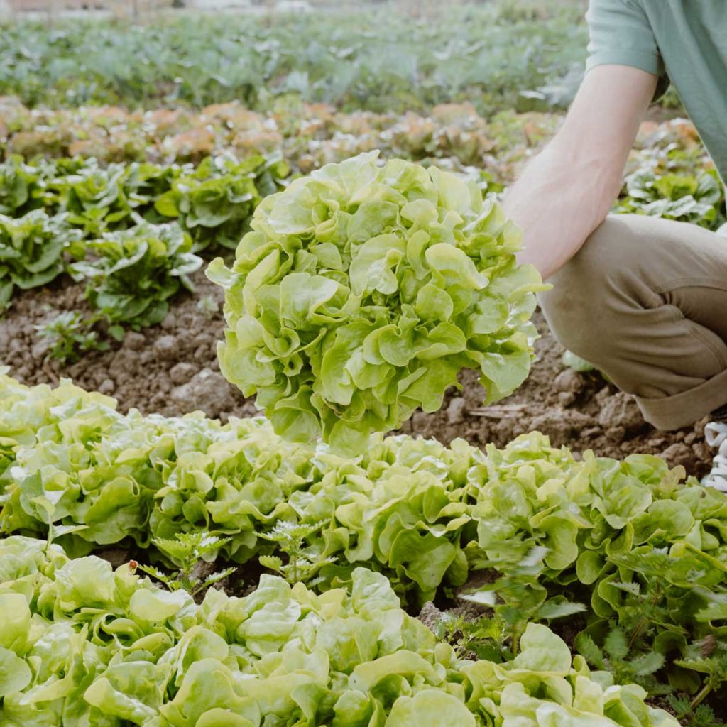 Head of lettuce held in a field of lettuce.