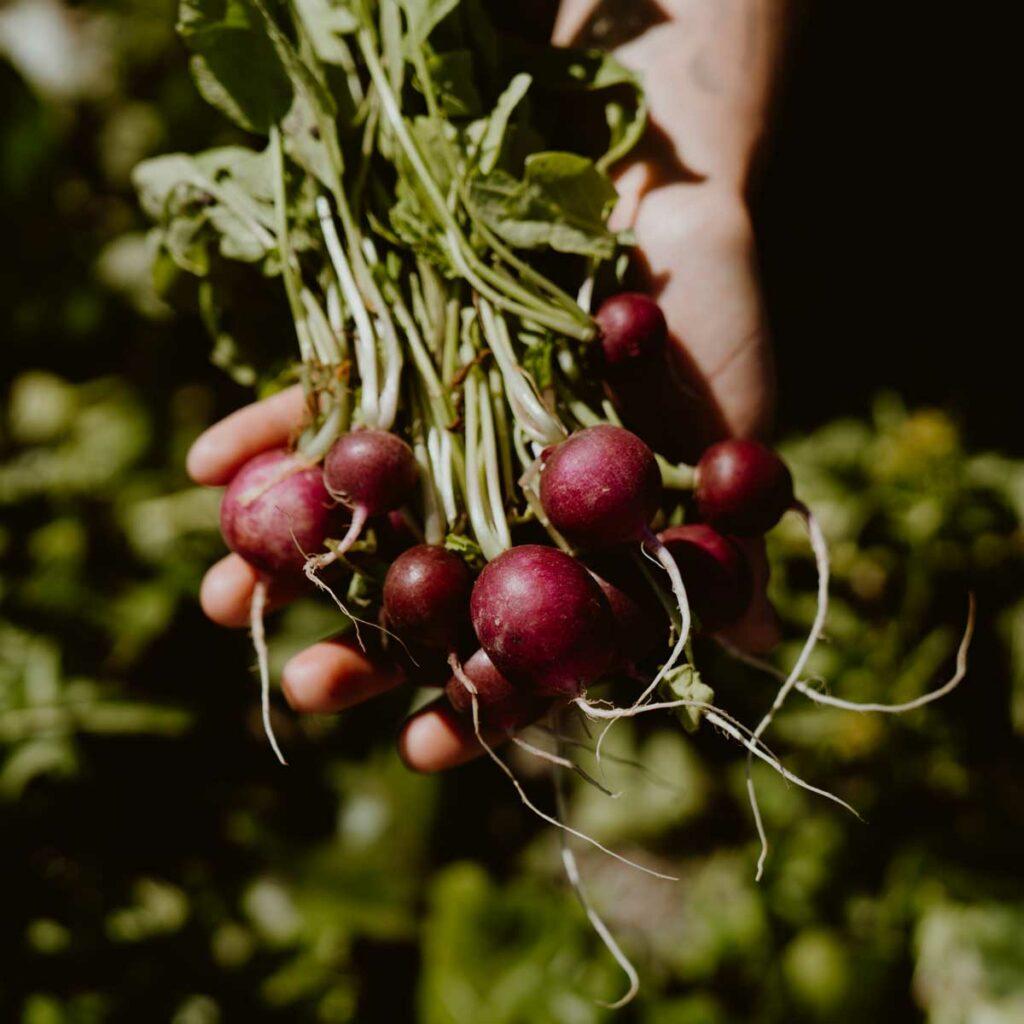 Bunch of radish held in one hand.