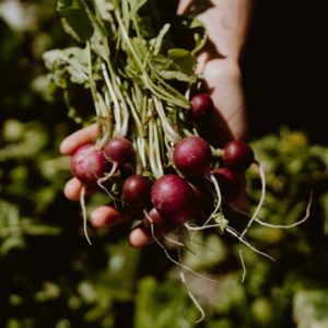 Bunch of radish held in one hand.