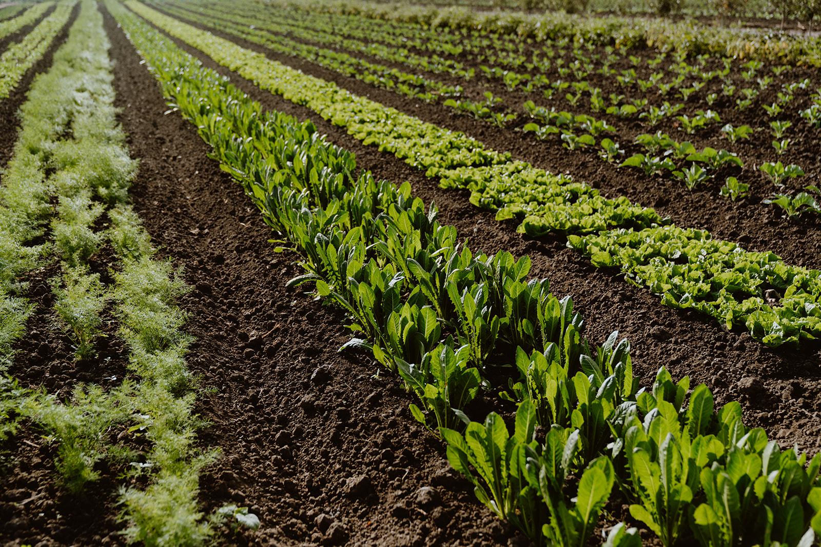 Rows of greens in farm field.