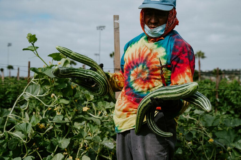 Farmer stands in field wearing a tye-dye shirt holding three very large cucumbers.