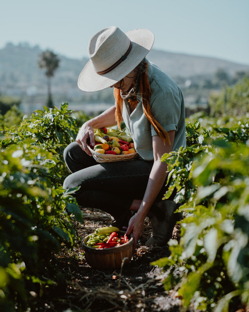 Person harvest peppers from the field in baskets.