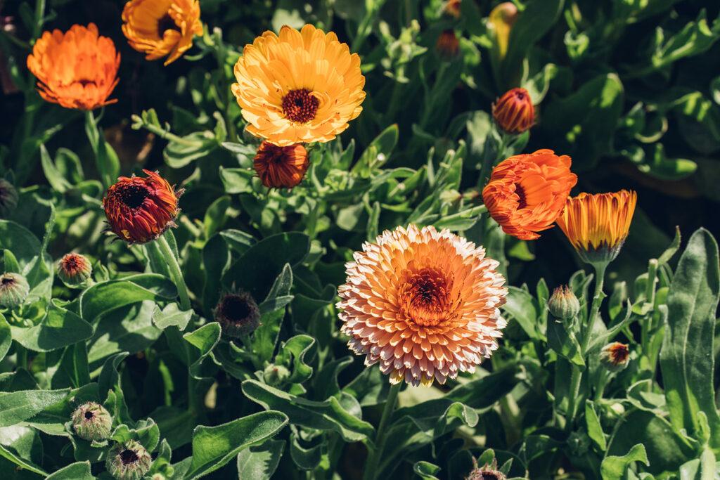 Orange flowers in the field.