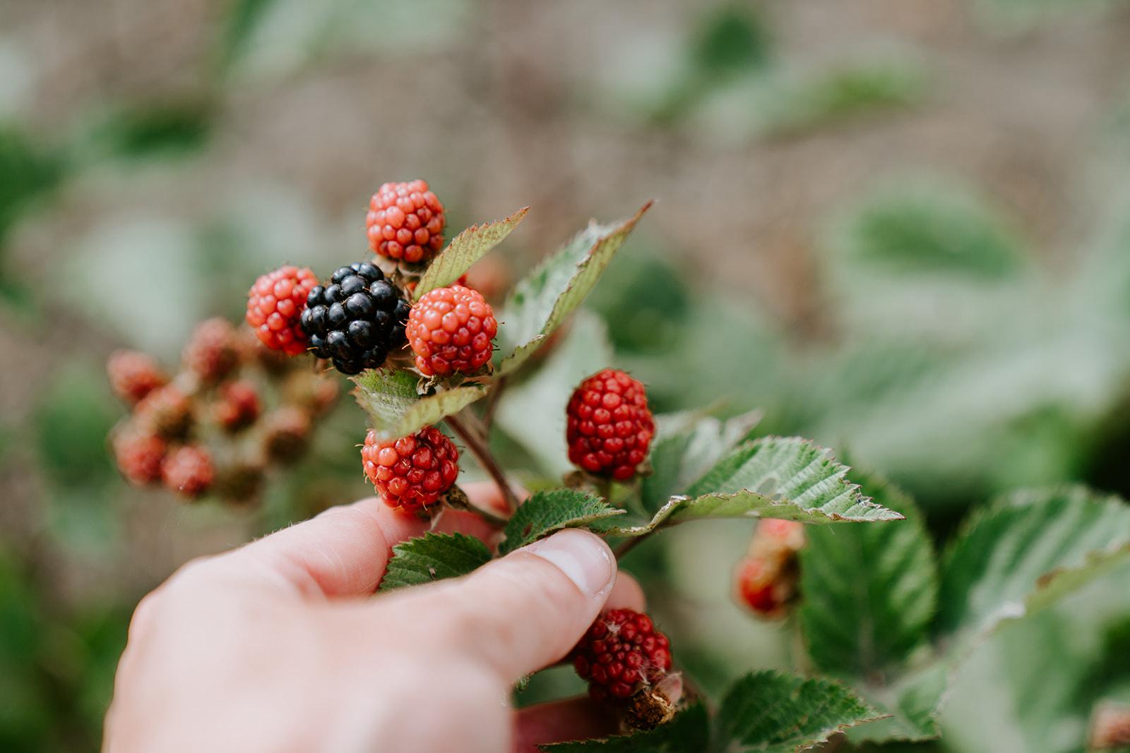 Ripening Blackberries on a vine.
