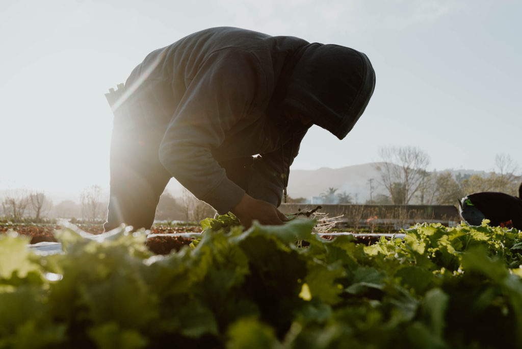 Person backlit as they harvest from a row of produce.