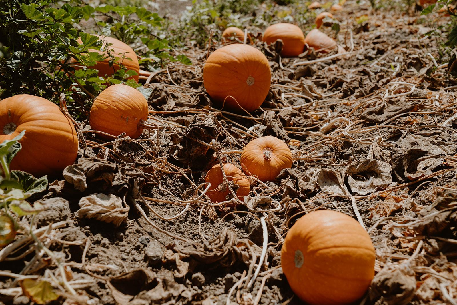 Pumpkins on the farm
