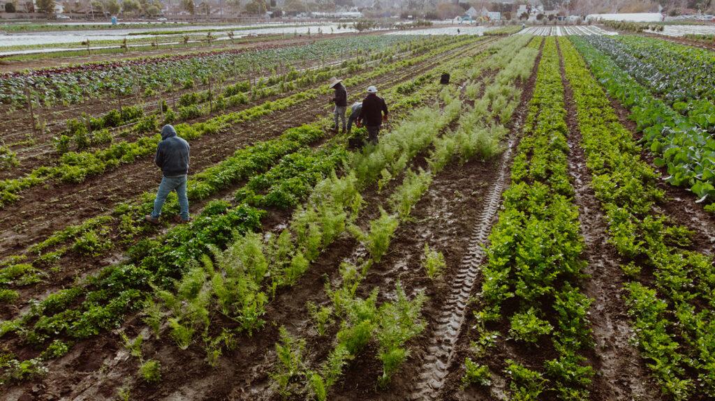 Farm workers in field.